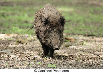 Wild Boar Sus scrofa - A Wild Boar Sus scrofa in the wood...