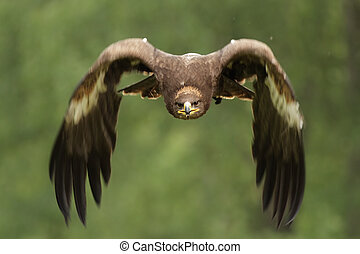 Golden Eagle (Aquila chrysaetos) in flight.