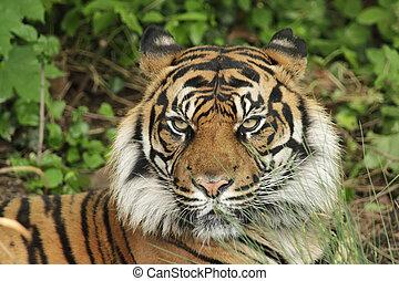 Sumatran tiger Panthera tigris sumatrae - Portrait of a...