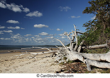 Beach on Fraser Island - Dead tree on the beach on Fraser...