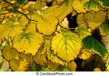 Linden - The yellowed foliage of a linden is photographed...