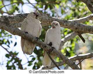 Little Corellas Cacatua sanguinea - Two Little Corellas...
