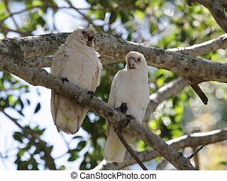 Little Corellas (Cacatua sanguinea) - Two Little Corellas...