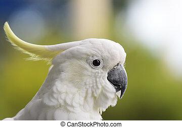 enxôfre-sulphur-crested, cockatoo, (Cacatua, galerita)