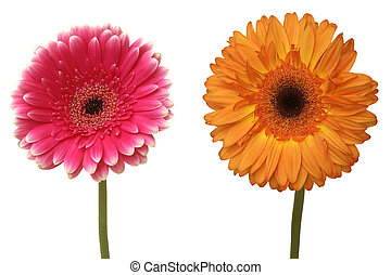 two flowers isolated on white