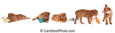 Five Dogue De Bordeaux Playing with different toys (fur...