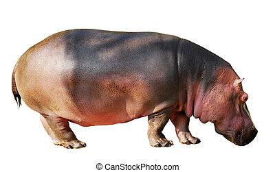 Isolated hippopotamus