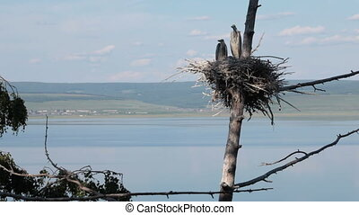 Herons in the nest
