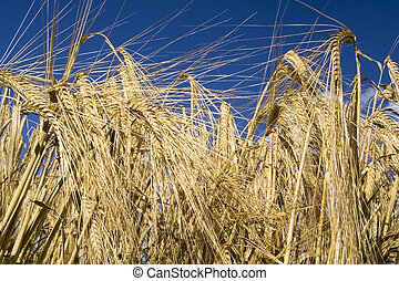 Cereal rye straw plants - Close up of rye plant opposite the...