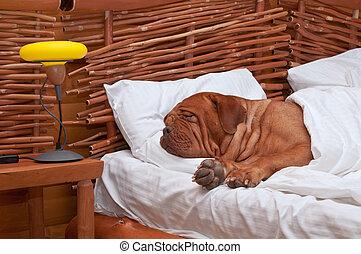 pies, wygodnie, spanie, łóżko, biały, Listki