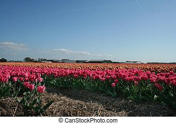 Bloembollenvelden in Zuid-Holland - Bloembollen op de akker...