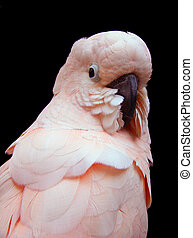 Pink Cockatoo with head facing viewer