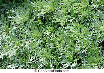 Silver Mound Artemisia - Close up of Silver Mound Artemisia...