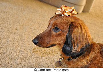 Red Long-Haired Dachshund with Gold Bow - Red Long-Haired...