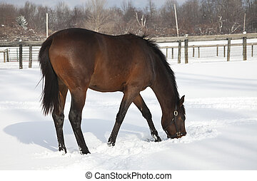 Horse searching in the fresh snow
