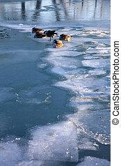 Geese on Lake Michigan