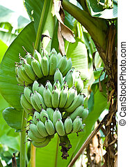 Banana bunch on tree in the garden at Thailand