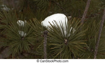 Pine tree - Pine branch covered with snow