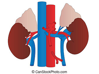 Vector human kidneys medicine anatomy