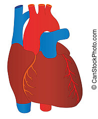 Vector human heart medical anatomy