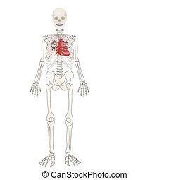 Vector the Skeleton of the person with an internal
