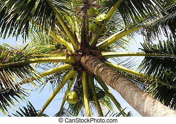 coconut palm tree - green coconut palm tree