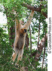 Pileated gibbon monkey hanging on a branch, Thailand
