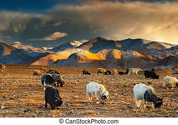 Grazing sheep and goats - Tibetan landscape with grazing...