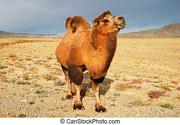 Camel in mongolian wilderness, Gobi Desert