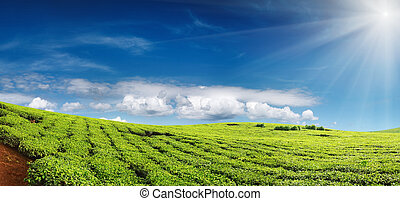 Tea plantation and blue sky