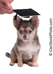 Chihuahua puppy wearing a mortar board hat for graduation...