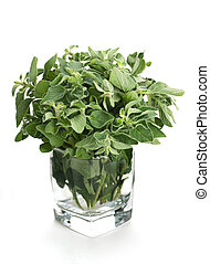 Oregano in glass  - Oregano herb bunch in glass on white
