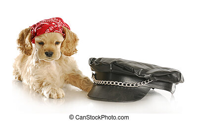 cute biker puppy - cute cocker spaniel puppy wearing skull...
