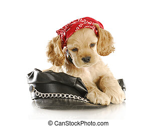 biker puppy - cute cocker spaniel puppy wearing skull cap...
