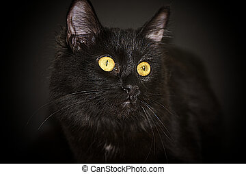 A Black Bombay Cat