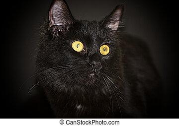 Um, pretas, Bombay, gato