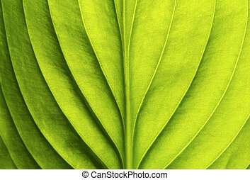 green leaf  - Texture of a green leaf as background