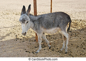 donkey - one gray donkey in desert and sand