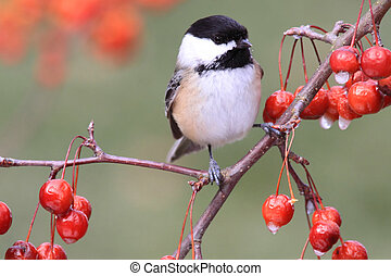 Chickadee on a Branch - Black-capped Chickadee poecile...