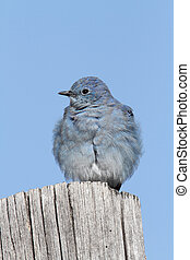 Mountain Bluebird - Male Mountain Bluebird Sialia...