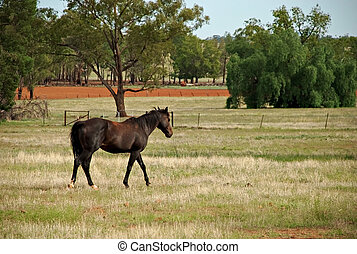 mammal - a stallion walking through a pasture of grass