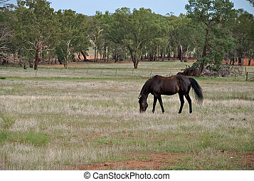 mammal - a stallion feeding on a pasture of grass