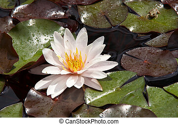 waterlily on the water - Shot of the white water lily on the...