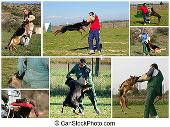 biting dog, - The figurant training police dogs. Attack to a...