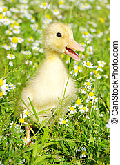 baby duck in the grass