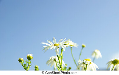 Camomiles on blue sky background