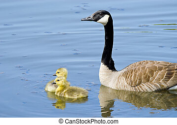 Goose with Goslings - Canada Goose swimming on lake with her...