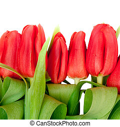 red tulips - beautiful red tulips on white