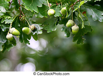 Cluster of Acorn - Cluster of acorn with green leafs in...