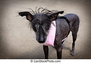 Chinese Crested Hairless Dog - Chinese Crested Hairless dog...